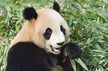 Kinh hoàng: Gấu trúc...bắt dê ăn thịt ở Trung Quốc