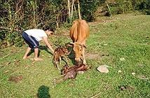 Chuyện lạ: Tận mắt thấy bò sinh ba ở Quảng Nam