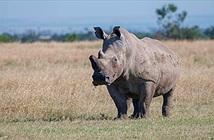 Tê giác trắng đực duy nhất trên Trái Đất lên mạng tìm bạn tình