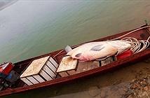 Tận mắt cá trắm chúa, 61kg dính lưới ngư dân Yên Bái
