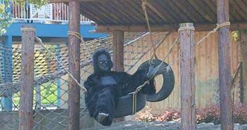 """Cho con đi sở thú, cha mẹ hết hồn với khỉ đột """"dị"""""""