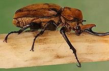 """Những """"kẻ khổng lồ"""" trong thế giới côn trùng"""
