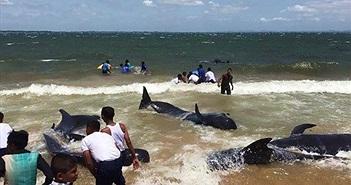 Ngoạn mục giải cứu 20 con cá voi dạt bờ ở Sri Lanka