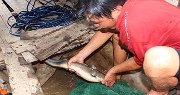 """""""Quái kiệt"""" săn cá ngát sông Hàm Luông: Hết gặp tử thi đến chạm mặt """"tử thần"""""""