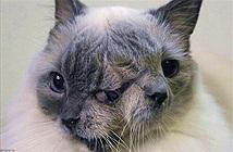 Sửng sốt với những chú mèo có hai mặt trên thế giới