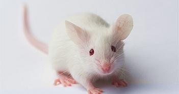 Chuột Onco và cuộc chiến tranh giành bản quyền