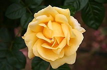 Khám phá những giống hoa hồng đẹp nhất thế giới