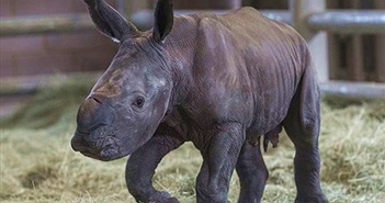 Tê giác trắng quý hiếm lần đầu ra đời bằng thụ tinh nhân tạo