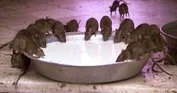 Video: 25.000 con chuột ở đền thờ được người dân Ấn Độ cung phụng, bảo vệ mỗi ngày