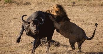 Anh em sư tử nổi cơn thịnh nộ, quyết săn giết trâu rừng