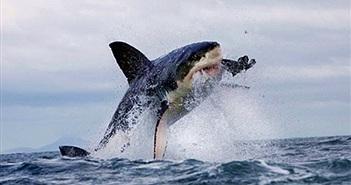 Cá mập trắng biến mất, lộ sát thủ khổng lồ siêu đáng sợ