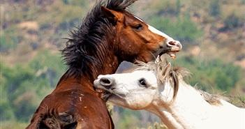 Khốc liệt cảnh ngựa hoang đấu đá giành người tình