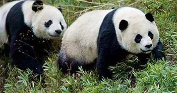 Vườn thú Washington lo sợ mất gấu trúc vì thương chiến Mỹ - Trung
