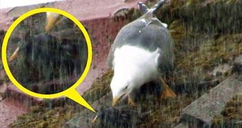 Kinh khủng cảnh chim non nhìn mẹ bị mòng biển đập nát