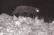Quái vật Cumbria lần đầu tiên bị bắt gặp trên máy ảnh hồng ngoại