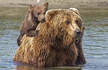Ấn tượng gấu mẹ bình tĩnh giúp con vượt sông sâu