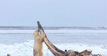 Gấu Bắc Cực chật vật đục khoét xương cá voi khủng