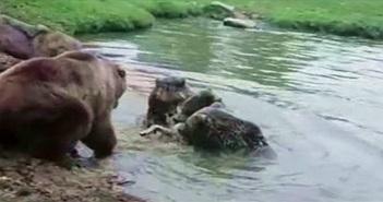 Gia đình gấu đại chiến đàn sói và kết cục đẫm máu