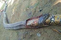 Kết thúc bi thảm của rắn hổ mang khi săn giết trăn khổng lồ
