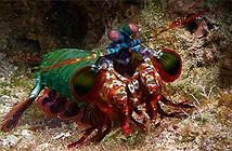 Loài tôm sở hữu thị lực phức tạp nhấttrong mọi loài động vật