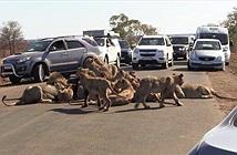 Đàn sư tử bố đời nằm giữa đường thách thức con người