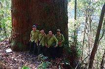 Sững sờ rừng cây sa mu khổng lồ, kỳ vĩ ở Nghệ An