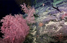 Phát hiện vườn san hô dưới hẻm núi ngầm