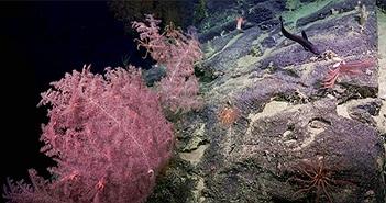 """Phát hiện """"vườn san hô"""" dưới hẻm núi ngầm"""