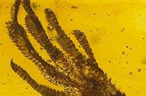 Tìm thấy chân thằn lằn tí hon trong hổ phách 20 triệu năm tuổi