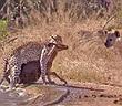 Video: Linh dương đánh lừa cả báo lẫn linh cẩu, tẩu thoát ngoạn mục