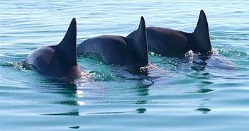 Cá heo đực hợp xướng để dụ con cái giao phối