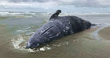 Lý giải chuyện cá voi xám chết bất thường