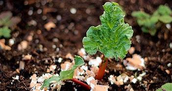 Lý do nên chôn trứng dưới đất trồng rau quả