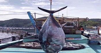 Bắt được cá ngừ nặng hơn 250kg gây xôn xao