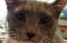 Chủ sốc, bật khóc vì mèo cưng đi tìm mình suốt 3 năm