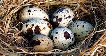 Những lợi ích tuyệt vời của trứng cút