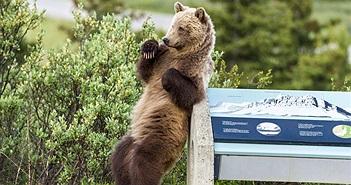 Sự thật thương cảm sau ảnh gấu nâu hoang dã nhảy gợi cảm