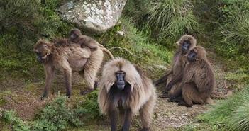 Loài khỉ lạ lùng có bờm cực điệu, hút ánh nhìn lần đầu tiên