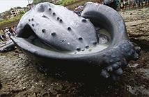 Mổ phanh cá voi lưng gù chết ngửa trên biển, lý do bất ngờ...
