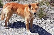 Chó biết hát tái xuất hiện ở New Guinea sau 50 năm được cho là tuyệt chủng