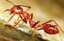 Phát hiện nhiều kiến lửa có nọc độc tại Hàn Quốc