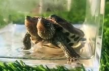 Xuất hiện rùa 2 đầu đột biến gen