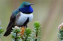 Phát hiện loài chim ruồi mới ở Ecuador