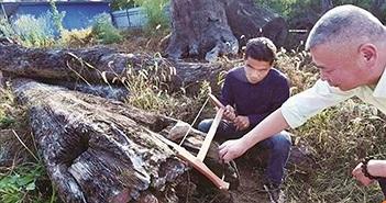 Khúc gỗ trôi sông tưởng vô giá trị nhưng lại là cả gia tài 68 tỷ