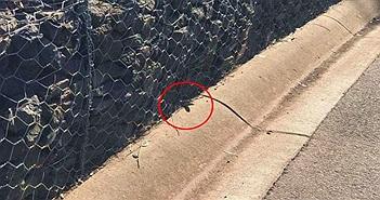 """Cận cảnh loài rắn chuyên cắn người khi ngủ, gây ra """"cơn ác mộng"""" kinh hoàng ở Úc"""