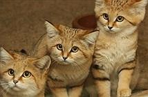 Khám phá ít biết về loài mèo duy nhất sống ở sa mạc