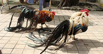 Lạ lẫm với giống gà quý tộc có đuôi dài tới 7m