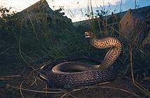 Đang lái xe, đứng tim thấy rắn độc nhất TG ngoe nguẩy dưới ghế
