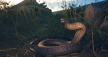 """Đang lái xe, """"đứng tim"""" thấy rắn độc nhất TG ngoe nguẩy dưới ghế"""