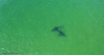 Thước phim chưa từng có ghi lại cảnh nghi cá mập trắng giao phối